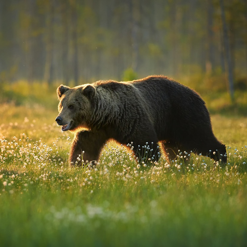 Protection of native wildlife like the Grizzly Bear is an important aspect of Republicans for Environmental Protection's conservation efforts.