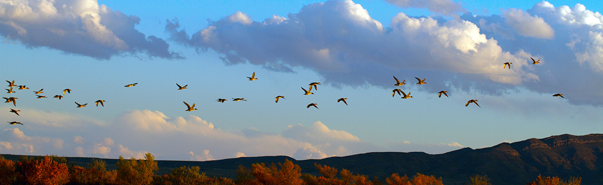 Northern Pintail ducks fly over Bosque del Apache National Wildlife Refuge in New Mexico.