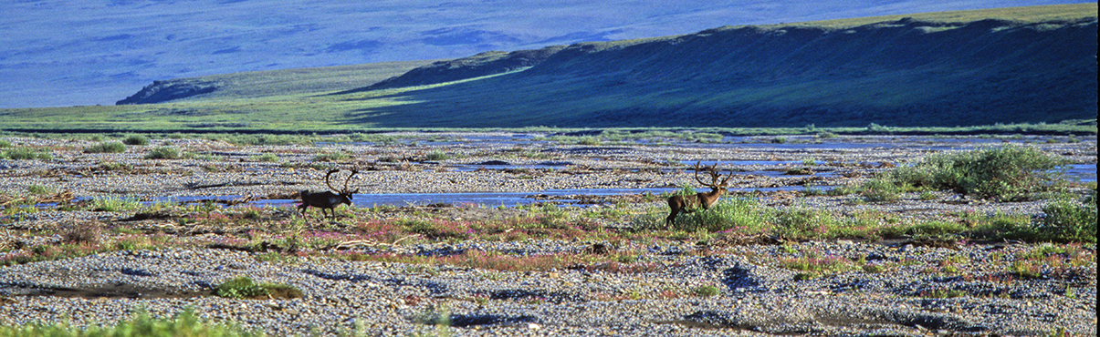 Two male Caribou walk toward the Canning River in August in the Arctic National Wildlife Refuge