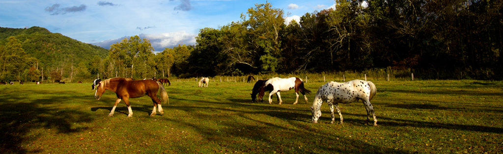 Horses graze in the historic Cades Cove area of Great Smoky Mountains National Park.