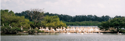 A large flock of white pelicans on Pelican Island National Wildlife Refuge